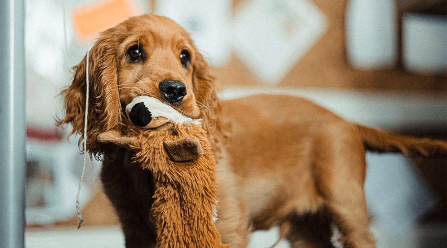 Dog playing with toys in flat