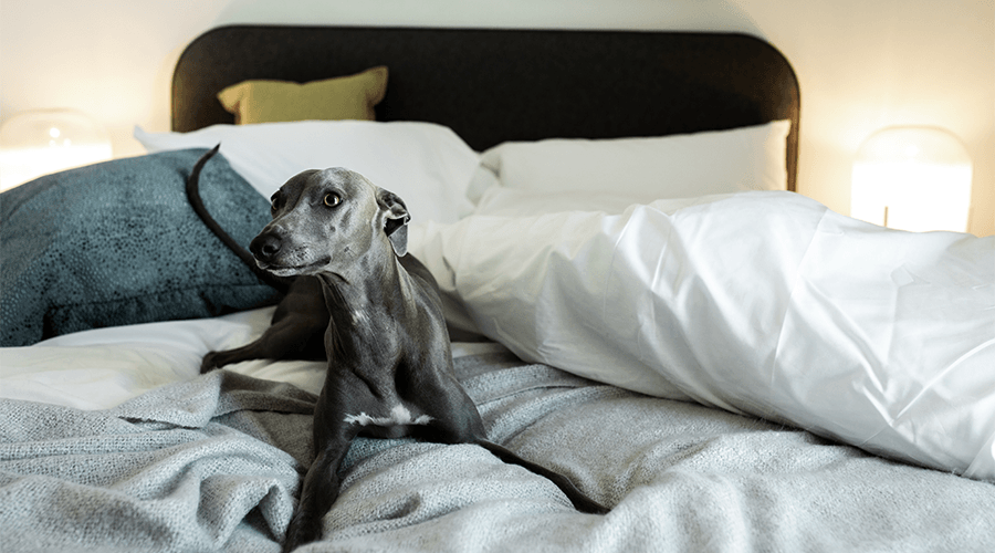 Dog playing in a bedroom