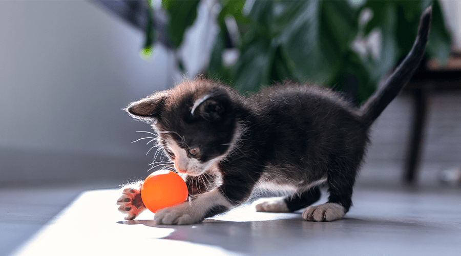 Cat playing with a ball in a flat